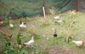 Unsere ersten eigenen Hühner auf der Farm.