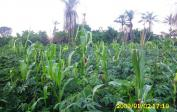 First maize growing between manioc near Mabala