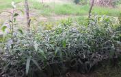 Erste Früchte (Papaya) und weitere Bäume (Avocado) und Setzlinge für zukünftige Bäume