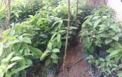 Die Bananenpflanzen wachsen gut