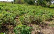 2 Hektar Maniok hinter der Schule