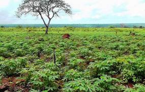Rostoucí maniokové pole