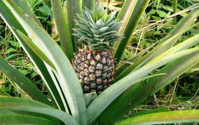Wachsende Ananas.