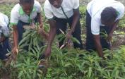 18. Schüler ernten Gemüse